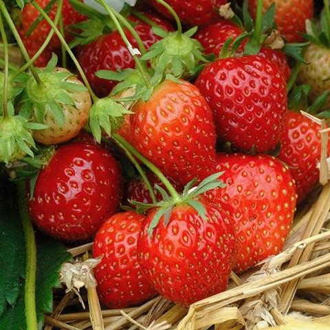 Erdbeere Mara de Bois (immertragend)